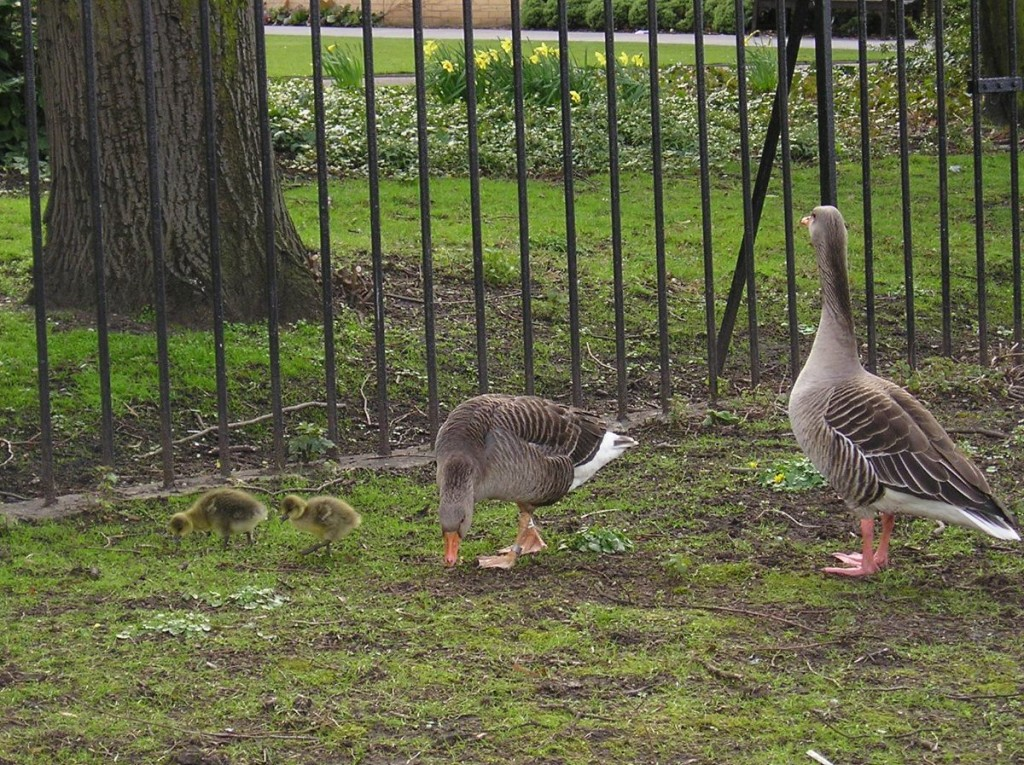 Geese near the Memorial Gardens, by the Ouse, 5 April 2006