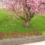 Blossom and rose bushes (April daily photo 23)