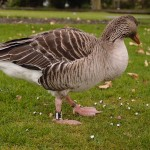 Goose scrutinising: daily photo 27