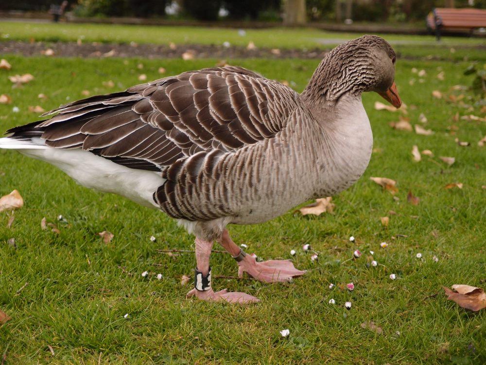 Greylag goose, Memorial Gardens, York, April 2016