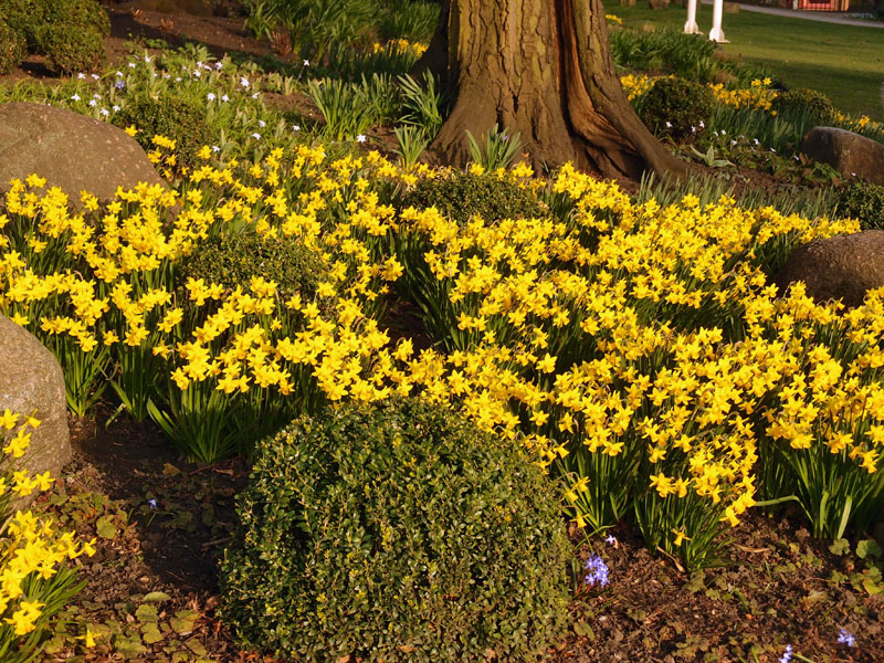 Narcissi, Museum Gardens, 13 March 2014
