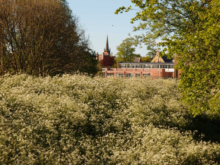 Clifton buildings over riverside cow parsley, 5 May 2017