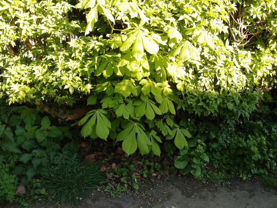 Young horse chestnut tree, Clifton snicket, 5 May 2017