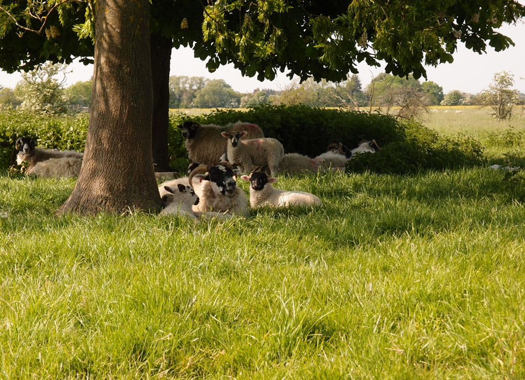 Sheep and lambs on Bootham Stray, 20 May 2018