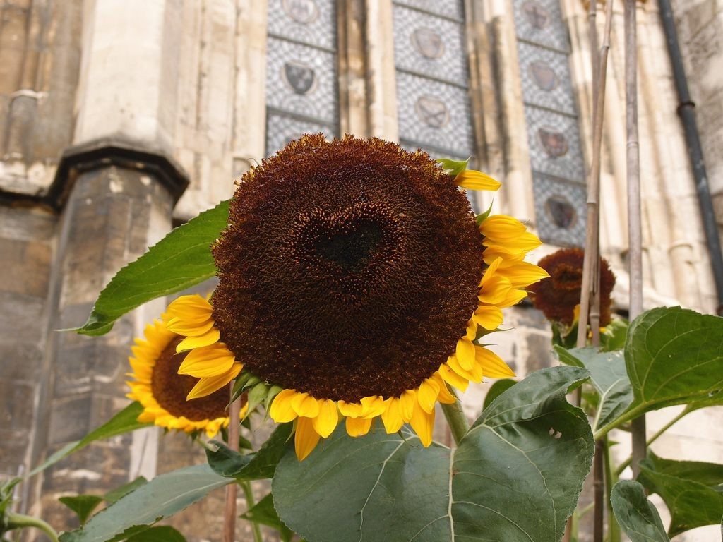 Sunflower. with heart ... by Minster library, Dean's Park, 9 Sept 2018