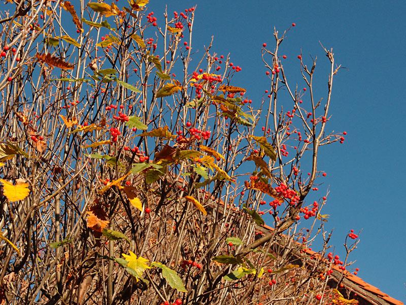 Berries, Spen Lane, 3 Nov 2014