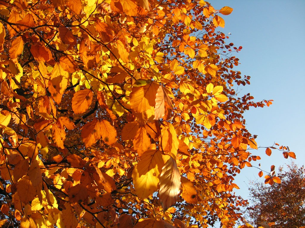 Beech tree leaves in autumn against blue sky