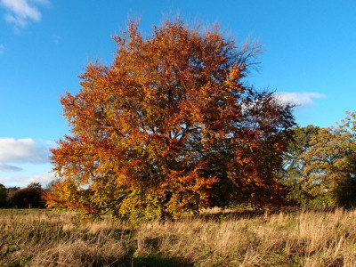 Orange leaved autumn beech against blue sky