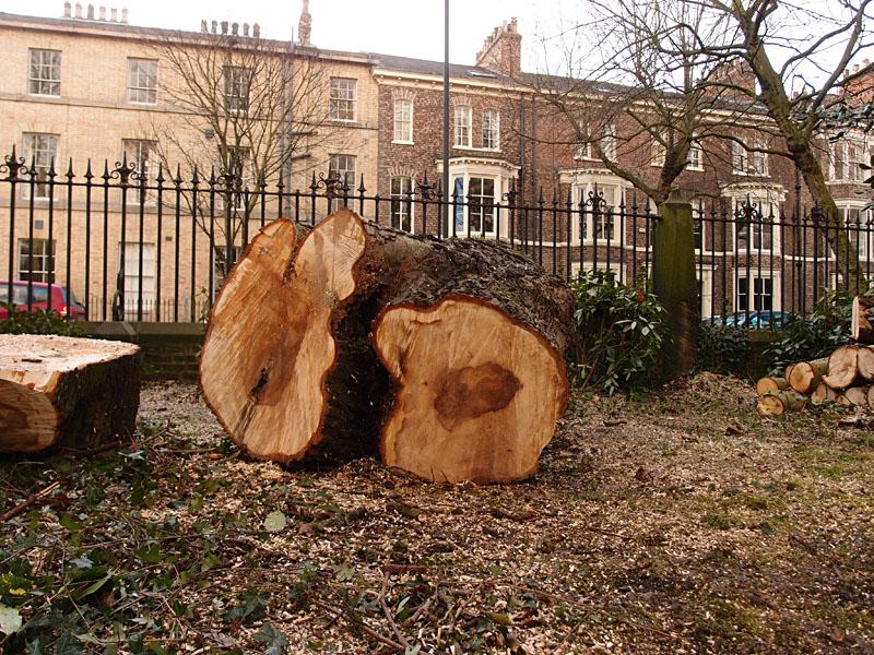 Bootham Park horse chestnut, 4 Feb 2015