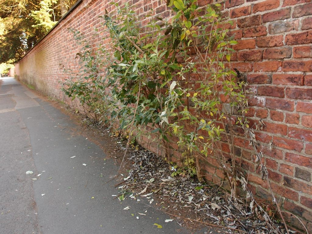 Bridge Lane buddleia, Sept 2016
