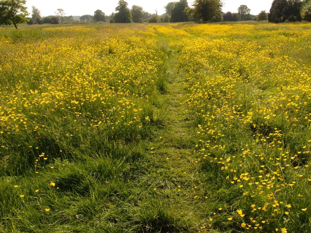 Buttercups on ridge and furrow, Clifton Park, 9 June 2016