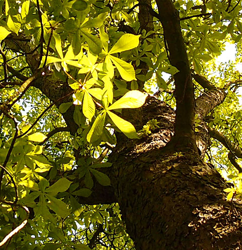 Tree, sunlit leaves