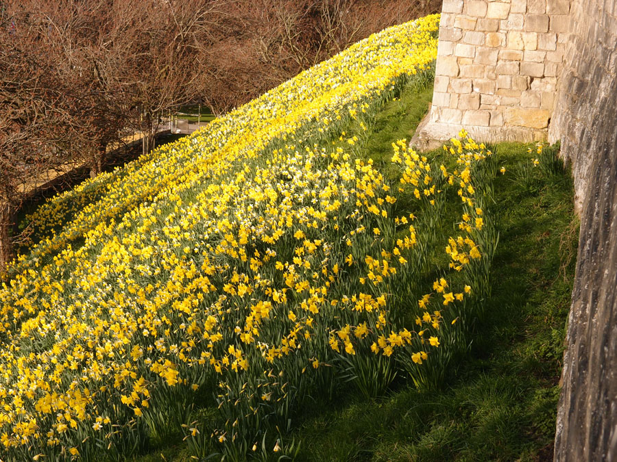 Carpet of daffodils in bloom on grassy rampart by stone wall