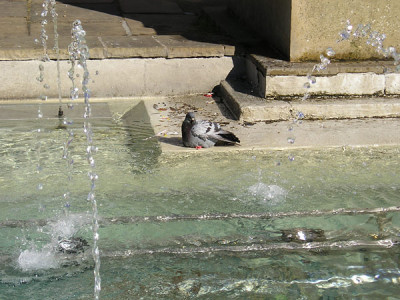 Pigeon bathing at edge of fountain