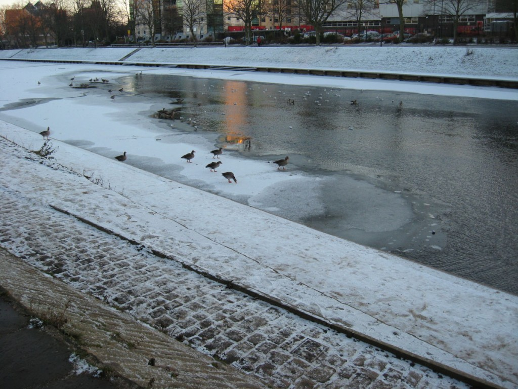 Geese on frozen Ouse, 25 Dec 2010