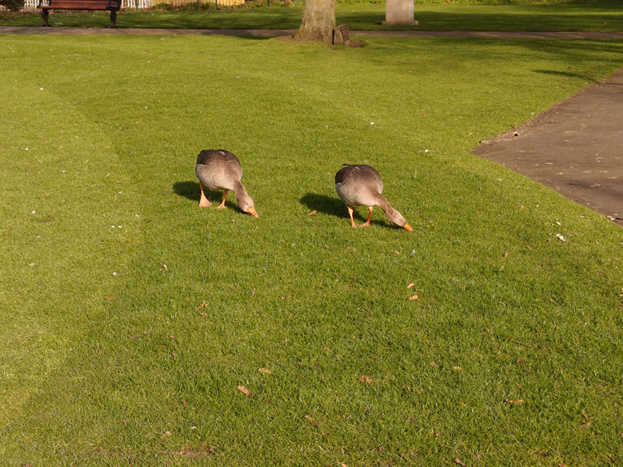 Pair of greylag geese on park grass