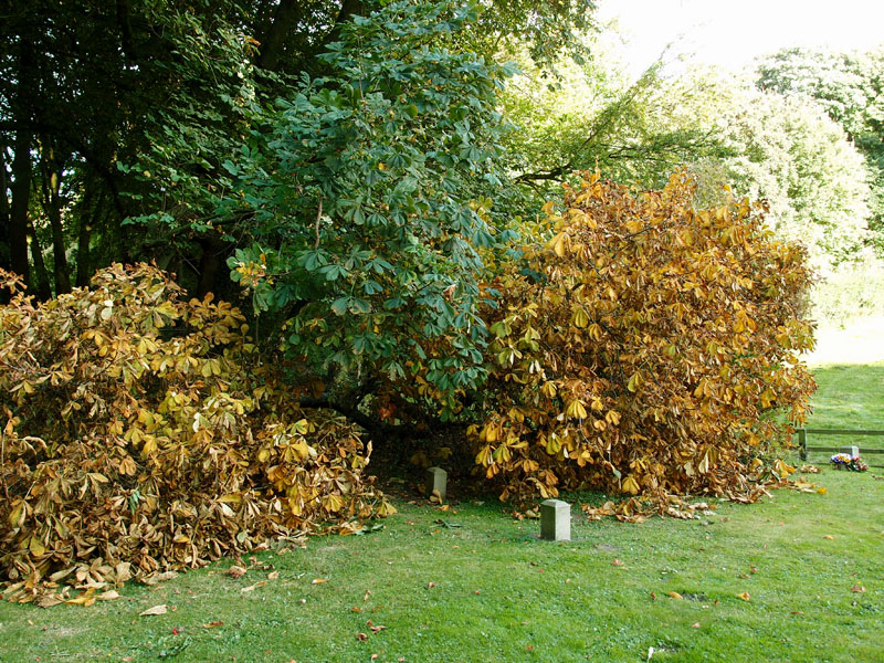 Great Givendale churchyard, horse chestnut, 6 Oct 2013