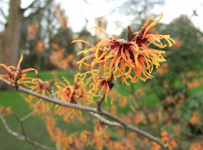 Coppery orange spidery bloom