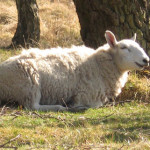 The laughing sheep of Strensall Common