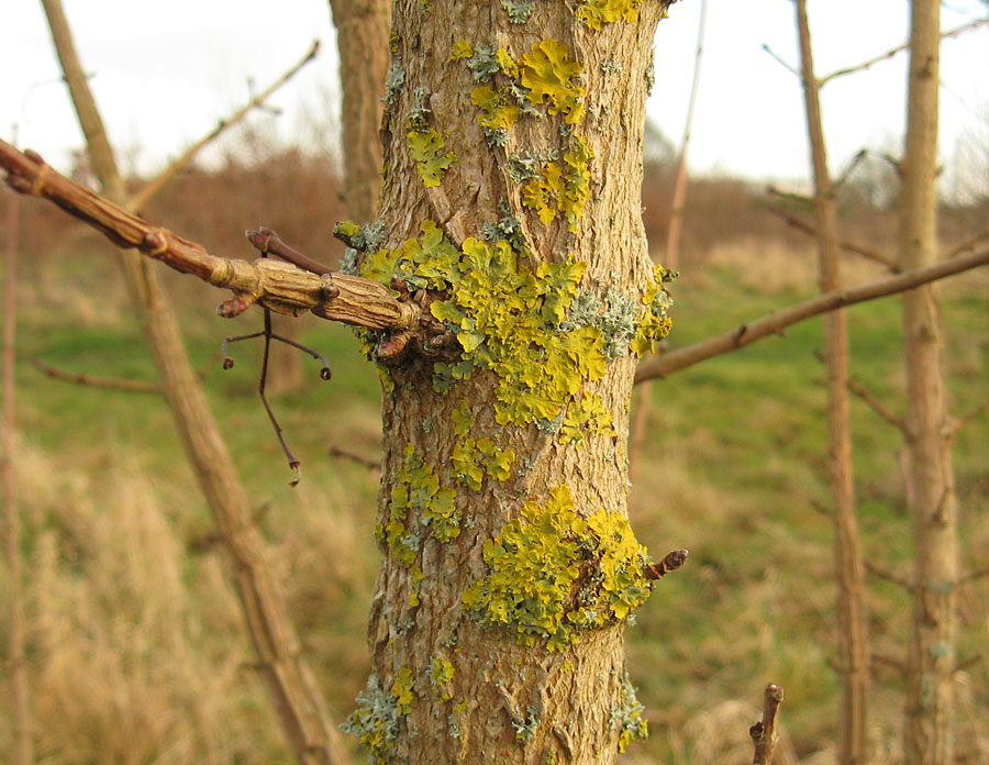 Lichen on tree bark, Bootham Stray, 30 Dec 2019