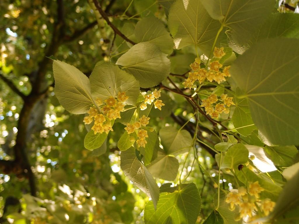 lime-flower-museum-gardens-050816.jpg
