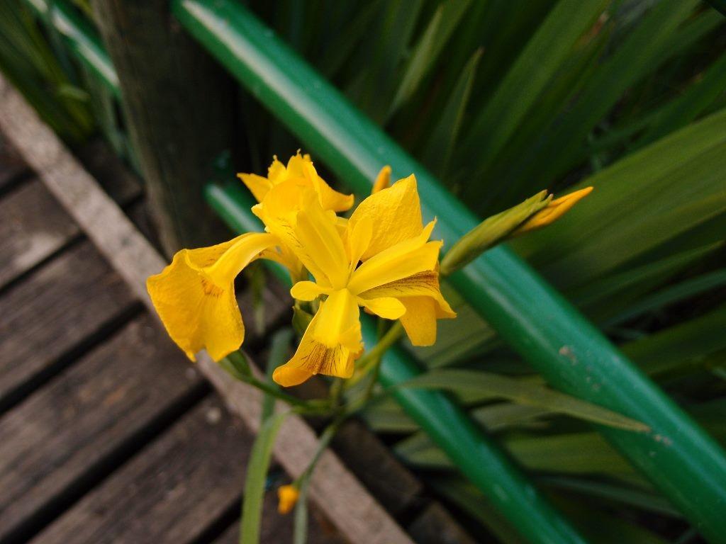 Iris, Millennium Gardens, 4 June 2016