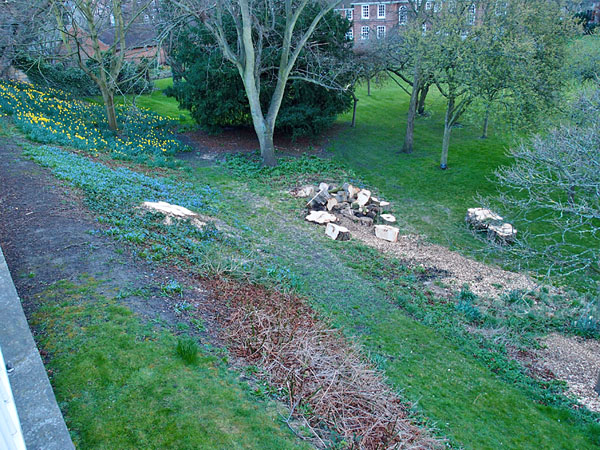 Felled horse chestnut (view 2), Minster precincts, 21 March 2014