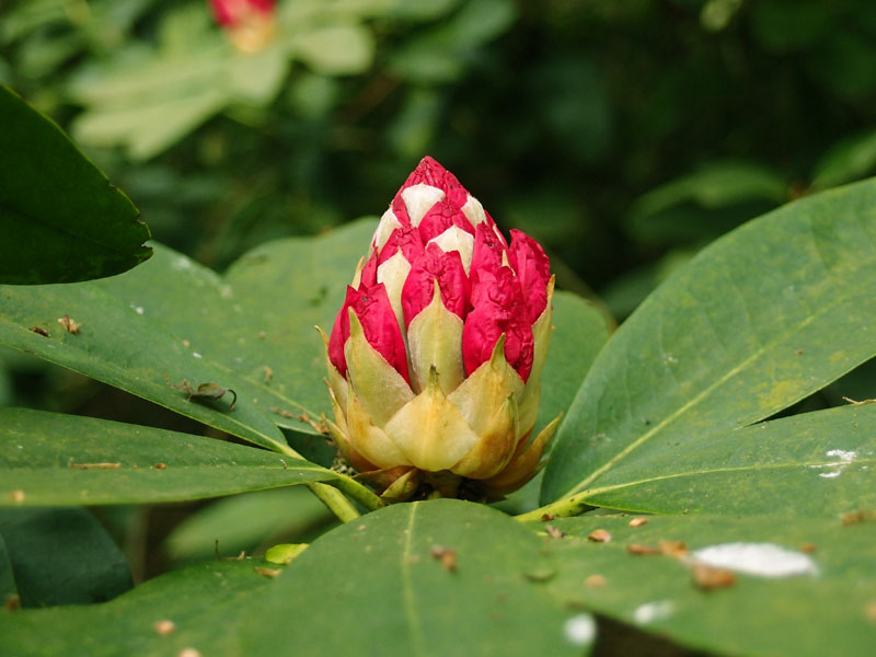 Rhododendron bud, Moorlands Nature Reserve, near York, 11 May 2015