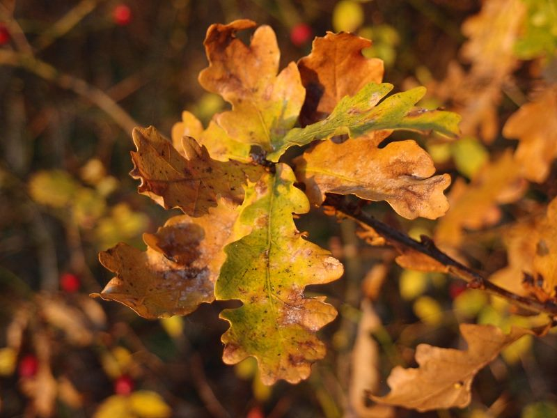 oak-tree-leaves-281116-800.jpg