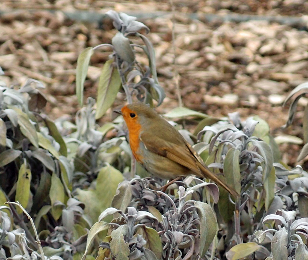 Robin on sage plants, edible wood, 21 Feb 2018
