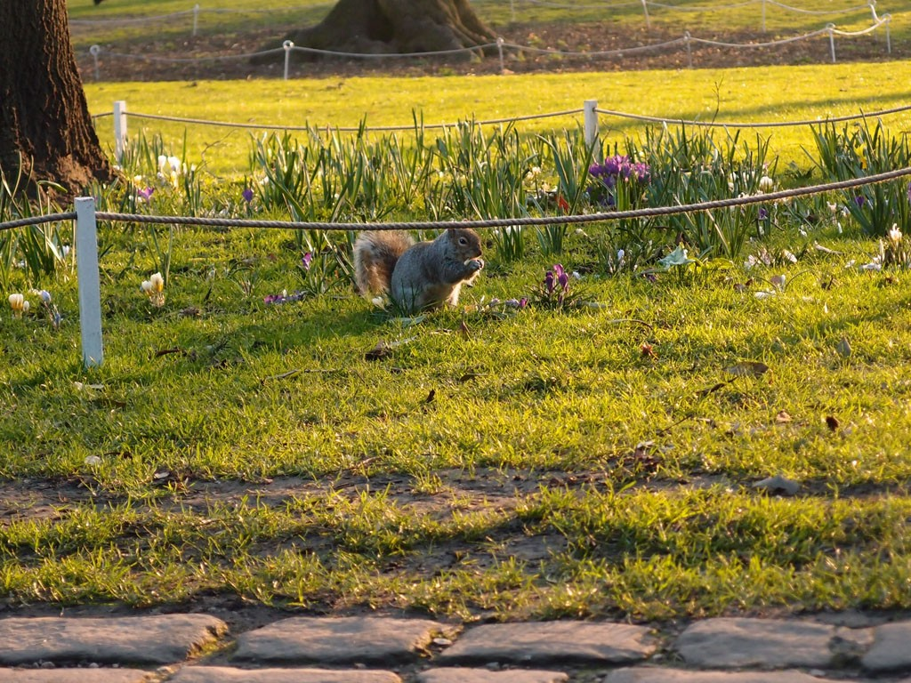 Squirrel and crocuses, Feb 2019