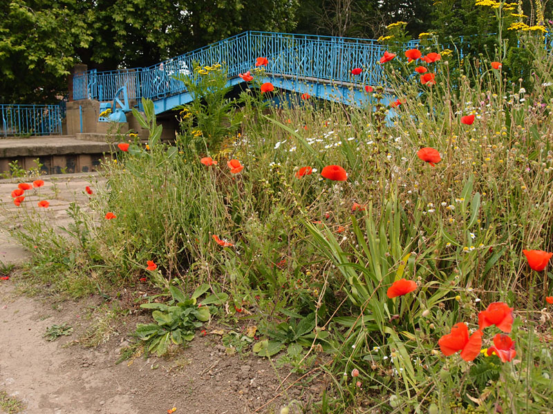 Poppies and other flowers, blue painted bridge behind